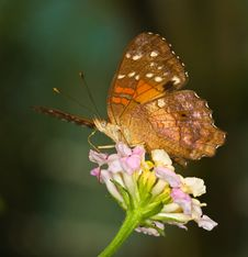 Beautiful Tropical Butterfly Anartia On Top Stock Images