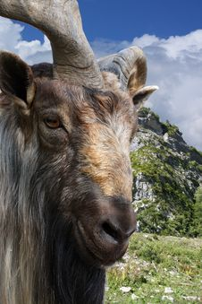 Free Mountain Goat Royalty Free Stock Photo - 9761185
