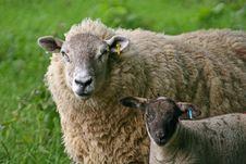 Free Sheep Royalty Free Stock Photos - 9761428