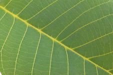 Free Arboreal Green Leaf Stock Images - 9761624