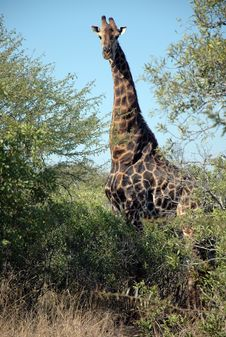 Free Giraffe Royalty Free Stock Photos - 9762398