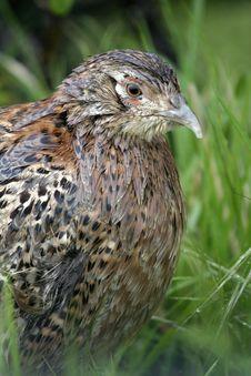 Female Pheasants, Phasianus Colchicus Stock Photography