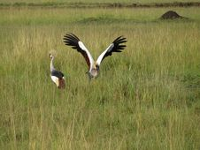 Free East African Crowned Crane Royalty Free Stock Photos - 9762418