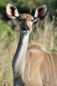 Free Female Kudu Royalty Free Stock Photo - 9762655