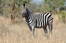 Free Zebra Royalty Free Stock Photo - 9762785