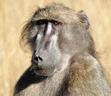 Free Baboon Royalty Free Stock Photos - 9762888