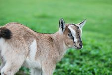 Free Small Goat Stock Photography - 9763262