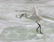Free Egret Hunting Fish Stock Image - 9763311