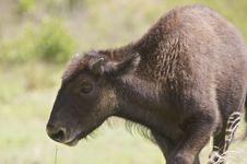Free Baby Buffalo Stock Photos - 9763563