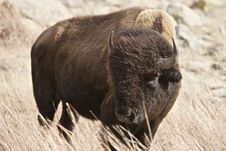 Free Buffalo Bull Royalty Free Stock Image - 9763566