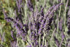 Free Collecting Lavender Royalty Free Stock Images - 9766119