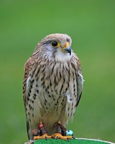 Free Common Kestrel Stock Photos - 9766383