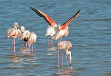 Free Flamingos Mating Royalty Free Stock Photo - 9766385