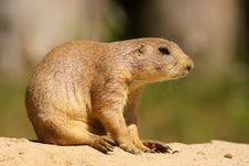 Free Prairie Dog Sitting In The Sand Stock Photos - 9766543