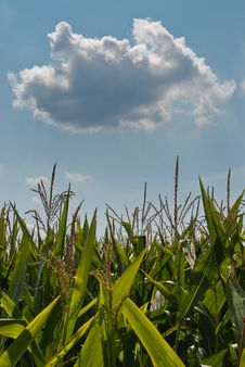 Free Sweet Corn Field Royalty Free Stock Photography - 9767657