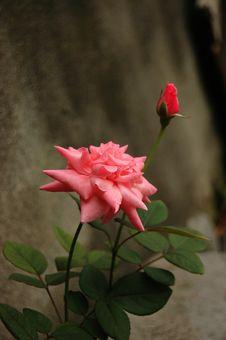 Free Rose Royalty Free Stock Photo - 9768065