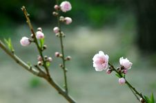 Free Chinese Peach Blossom In Spring Royalty Free Stock Photo - 9768095