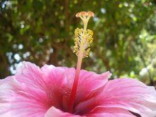 Free Hibiscus Stock Photos - 9768993