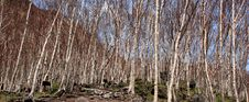 Birch Tree On Changbai Mountain Royalty Free Stock Photos