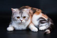 Free Scottish Straight Breed Cat Tortoiseshell Color. Stock Photo - 9769590
