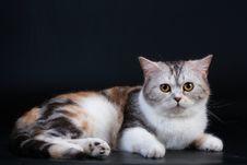 Free Scottish Straight Breed Cat Tortoiseshell Color. Royalty Free Stock Image - 9769596