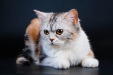Free Scottish Straight Breed Cat Tortoiseshell Color. Royalty Free Stock Photography - 9769597