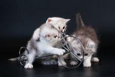 Free Three Scottish Straight Breed Kittens Near Bycicle Stock Photo - 9769610