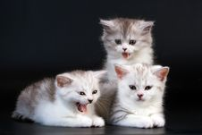 Free Three Scottish Straight Breed Kitten On Black Stock Image - 9769631