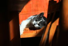 Free Cat, Small To Medium Sized Cats, Cat Like Mammal, Whiskers Royalty Free Stock Photography - 97662457