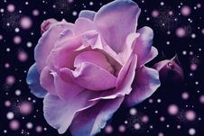Free Rose Family, Rose, Flower, Violet Stock Image - 97670691