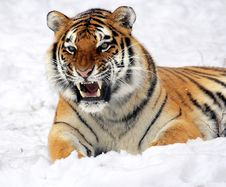 Free Tiger, Wildlife, Mammal, Whiskers Royalty Free Stock Photography - 97688127