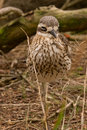 Free Bush Stone-Curlew Royalty Free Stock Photo - 9772275
