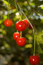 Free Red Cherries Royalty Free Stock Photography - 9772787