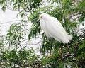 Free Snowy White Egret Stock Photos - 9775213