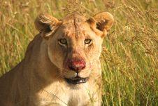 Feeding Lioness Stock Photography