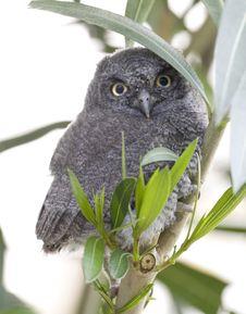 Free Western Screech Owl Stock Photo - 9771060