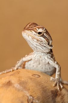Free Bearded Dragon Royalty Free Stock Image - 9771686