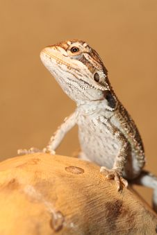Free Baby Bearded Dragon Royalty Free Stock Image - 9771726