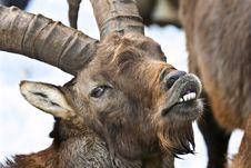 Alpine Ibex (Capra Ibex) Laughing Stock Image