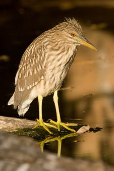 Free Night Heron Royalty Free Stock Photography - 9772267
