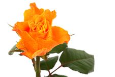 Free Orange Rose Stock Photo - 9772390