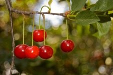 Free Five Red Cherries On A Branch Royalty Free Stock Images - 9772729