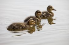 Baby Duck Trio Stock Photo