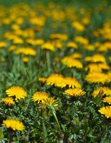 Free Dandelions Stock Photos - 9775103