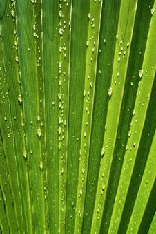 Free Palm Leaf Royalty Free Stock Photos - 9776708