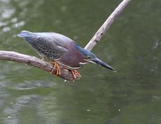 Free Green Heron Stock Photography - 9776852