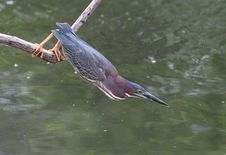 Free Green Heron Stock Images - 9776854