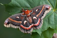Cecropia On Leaf Royalty Free Stock Photography