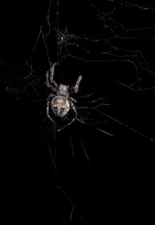 Free Hungry Spider Royalty Free Stock Image - 9778586