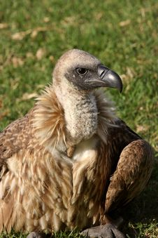 Free White-Backed Vulture Stock Photo - 9779420
